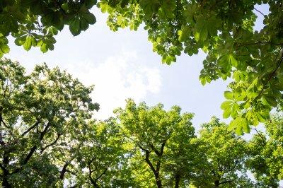 Blätterkrone im Hof der Pauluskirche